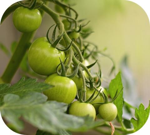 De bladeren en stengels van de tomatenplant zijn giftig en niet geschikt voor consumptie.