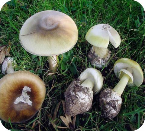 Amanita is een geslacht van paddenstoelen dat enkele honderden soorten bevat.