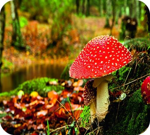 Voorzichtig met zelf geplukte paddenstoelen
