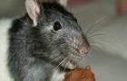Het gebruik van alfa-chloralose in ratten- en muizenvergif neemt toe.