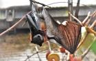 Bij een beet of een vermoeden van een beet door een vleermuis is het belangrijk om steeds een arts of dierenarts te raadplegen.