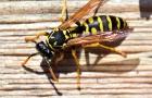 Bij een wespen- of bijensteek kunnen zich drie soorten reacties voordoen.