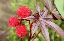 De wonderboom (Ricinus communis) is een snelgroeiende tropische boom die tot de wolfsmelkfamilie (Euphorbiaceae) behoort.