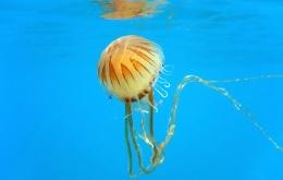 De Chrysaora hysoscella of kompaskwal. Een contact met de tentakels van de kompaskwal kan bij de mens zeer pijnlijk zijn met een branderig gevoel, jeuk en strepen op de huid die aan striemen van zweepslagen doen denken.