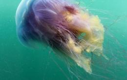 Contact met de tentakels van de blauwe haarkwal (Cyanea lamarckii) veroorzaakt een branderig gevoel en een irritatie die vergelijkbaar is met die van brandnetels. [Foto © Dan Bolt - http://www.underwaterpics.co.uk/]