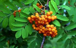 De lijsterbes behoort tot de rozenfamilie (rosaceae).