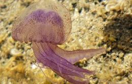 Een contact met de parelkwal (Pelagia noctiluca) is pijnlijk.