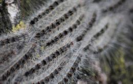 De eikenprocessierupsen leven in groepen bijeen en maken op de stammen of dikkere takken grote nesten: een dicht spinsel van vervellingshuidjes, met brandharen en uitwerpselen. Zij voeden zich 's nachts. Zij verplaatsen zich in lange rijen (vandaar processie) naar hun voedsel, de eikenbladeren. Zij kunnen een hele boom kaalvreten.