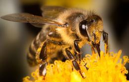 De bij-achtigen hebben een behaard lichaam. De honingbij heeft een angel met weerhaken die verbonden is met de spieren van het achterlijf. Zij steekt alleen als zij in haar werkzaamheden gestoord wordt. Zij kan maar één keer steken.