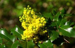 Hulstberberis (Mahonia aquifolium)