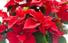 In tegenstelling tot de oorspronkelijke plant uit Mexico, zijn de planten die hier in potten gecultiveerd worden weinig giftig.