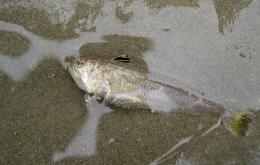 De kleine pieterman leeft op de zandbodem langsheen onze kustlijn.