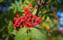 De vruchten bevatten vooral sorbitol en andere suikers, vitamine C en parasorbinezuur.