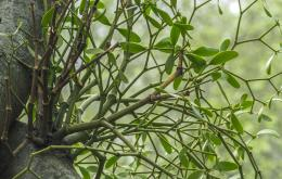 De giftigheid van de maretak is sterk afhankelijk van de gastheerboom.