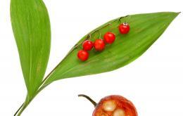 Na de bloei draagt de plant ronde, erwtgrote, aanvankelijk groene, later oranjerode tot rode bessen.