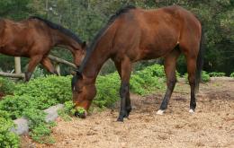 Vermijd taxus in de buurt van vee en paarden. Paarden zijn bijzonder gevoelig voor de giftige taxus.