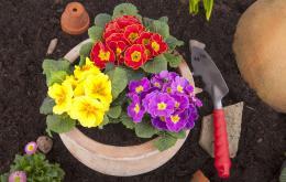 De planten van het geslacht primula kunnen aanleiding geven tot allergische reacties van de huid.