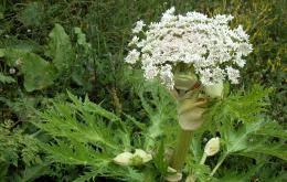 Deze imposante plant, uitgroeiend tot een hoogte van drie meter en met bloemschermen met een diameter tot een halve meter,is populair in grote tuinen en parken.