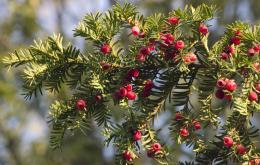 Taxine, het giftige bestanddeel, blijft ook werkzaam na koken, drogen of bewaren van het plantenmateriaal.