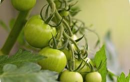 Tomatine zit in de volledige tomantenplant, maar verdwijnt na rijping uit de vrucht.