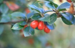 De kleine ronde vruchtjes zijn oranjerood en bevatten 2 tot 4 pitten.