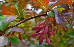 Zuurbes (Berberis vulgaris