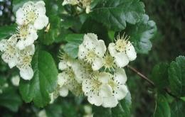 Bloemen van de meidoorn