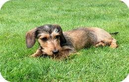 Nogal wat voedingsproducten zijn giftig voor honden.