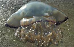 De zeepaddenstoel (Rhizostoma pulmo) wordt algemeen beschouwd als ongevaarlijk.